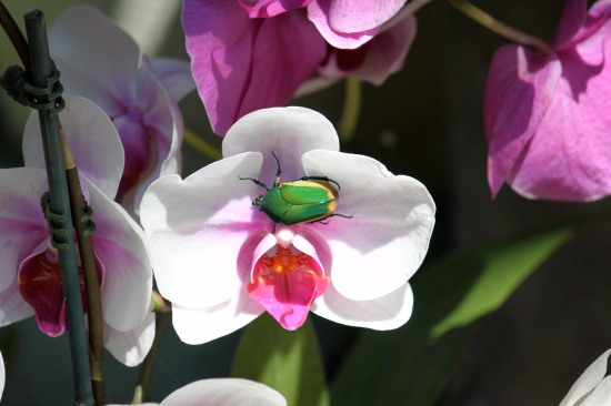 Beetle on an Orchid