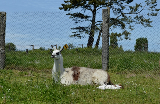 Baby llama sleeping in the grass