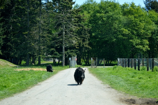 Uh oh.  There's a yak in the road...